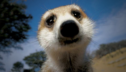 meerkat-selling-third-image